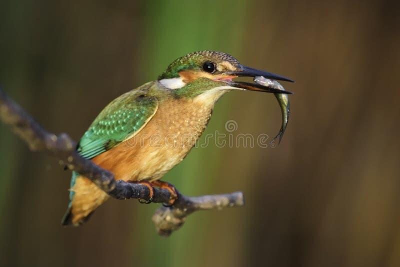 Pospolity zimorodek - Alcedo atthis zdjęcie royalty free