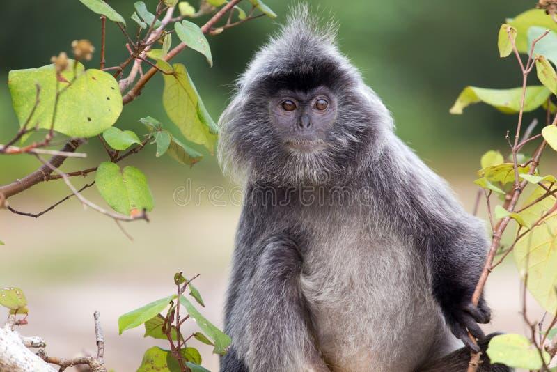 Posrebrzona liść małpa obrazy royalty free