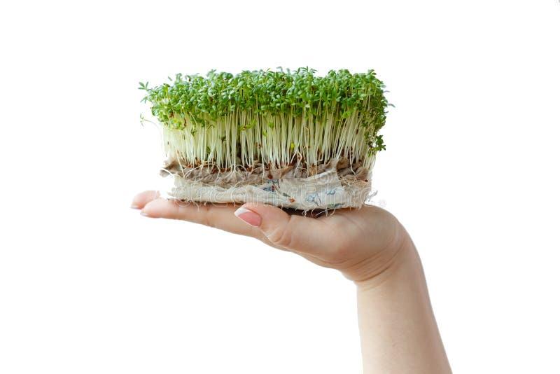 Posse da mulher e cuidados para brotos de micro plantas de verdes em uma caixa plástica, close-up das mãos, no fundo branco imagens de stock royalty free