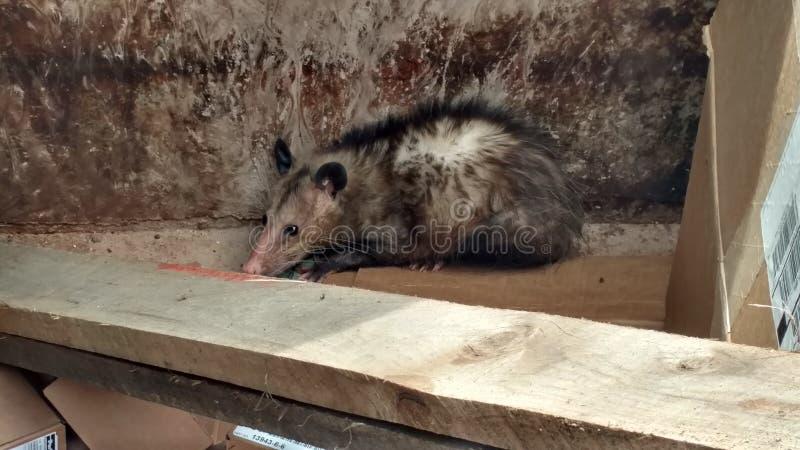 Possum stock photo