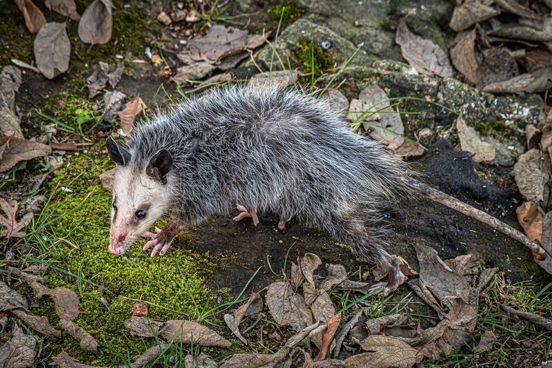 Possum in my back yard stock photo. Image of wild, brown ...
