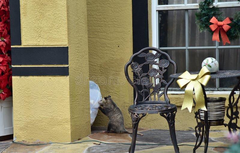 Possum rozrywał i rozdrabniał torby na śmieci obraz stock