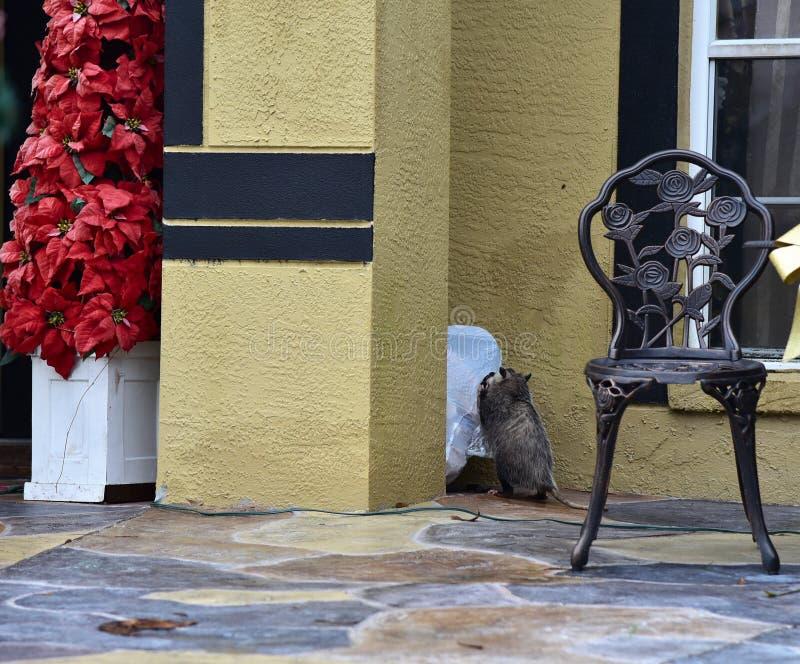 Possum rozrywał i rozdrabniał torby na śmieci obraz royalty free