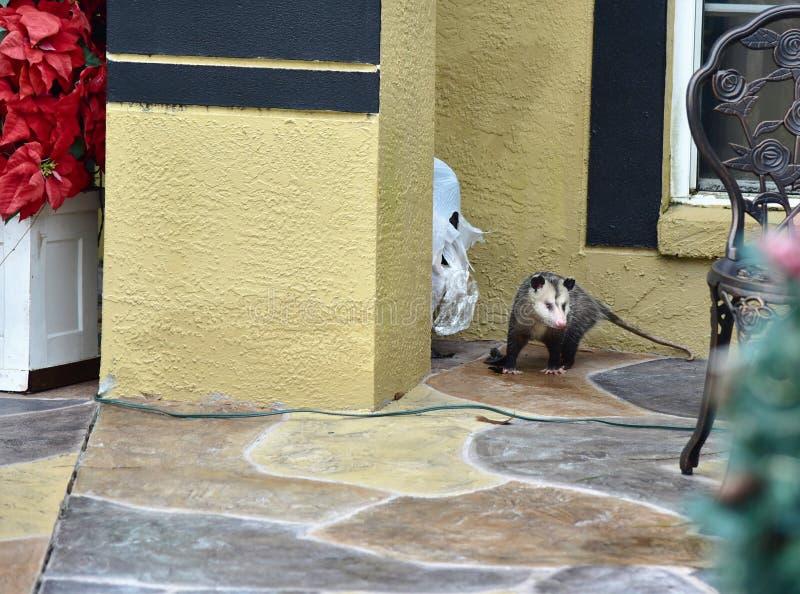 Possum rozrywał i rozdrabniał torby na śmieci zdjęcie royalty free