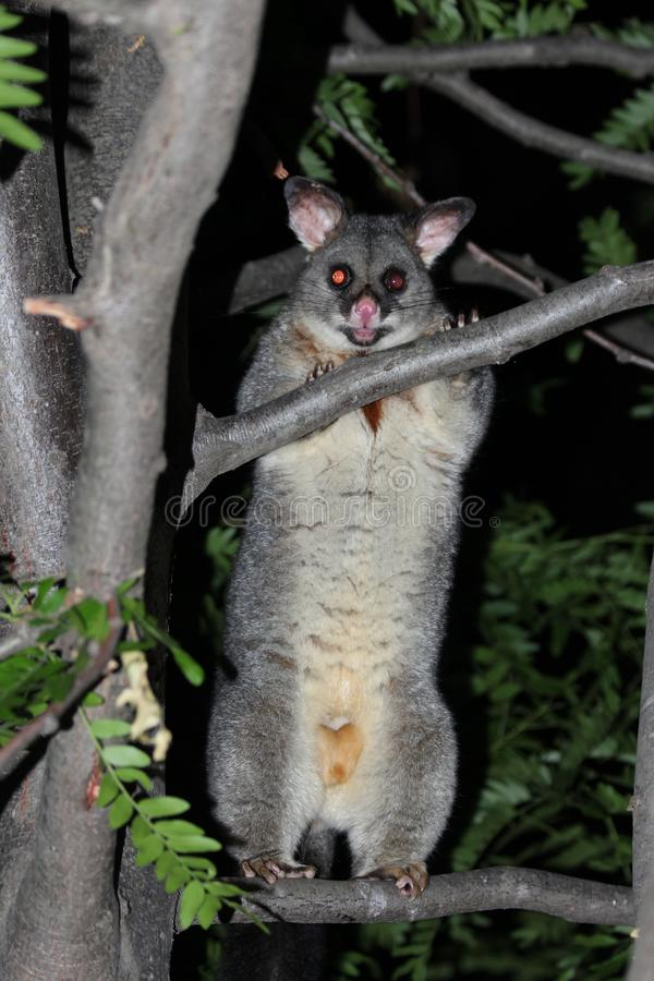 Possum in Tree Looking at me royalty free stock photography