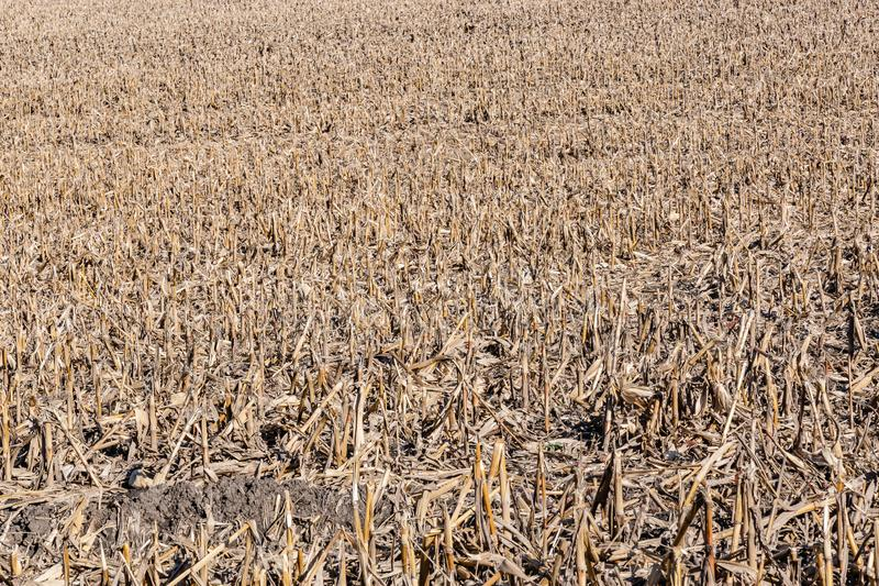 Post harvest corn field showing broken stalks, stumps and husks stock photo