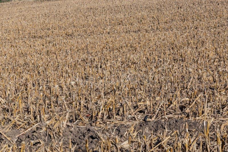 Post harvest corn field showing broken stalks, stumps and husks stock images