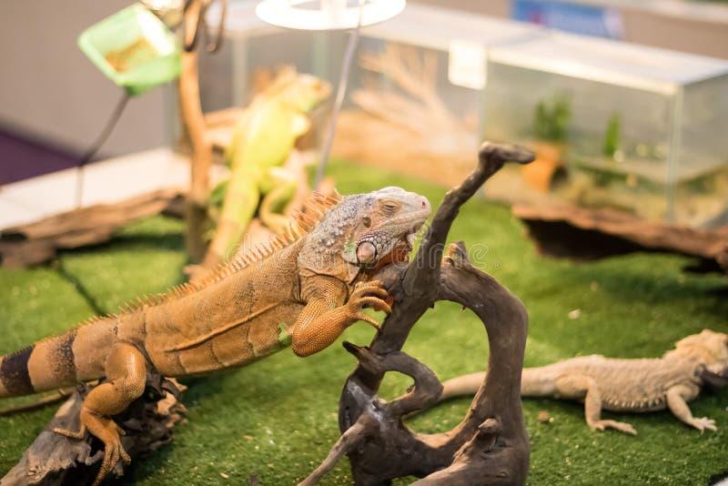 A postagem do lagarto na vara imagem de stock