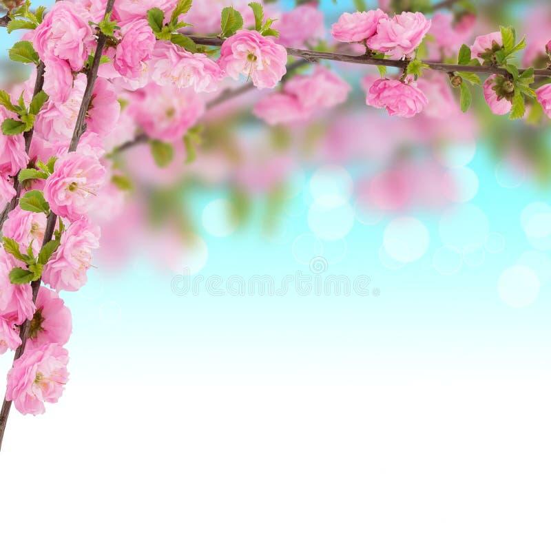 Postal con el árbol floreciente de la primavera fresca y lugar vacío para y imagen de archivo libre de regalías