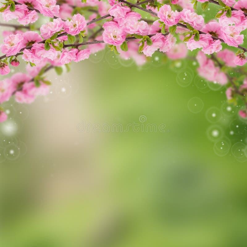 Postal con el arbusto floreciente de la primavera fresca y lugar vacío para y imagen de archivo