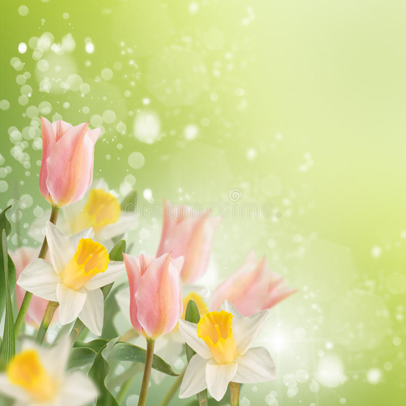 Postal con los narcisos de las flores frescas y tulipanes y pla vacío fotos de archivo libres de regalías