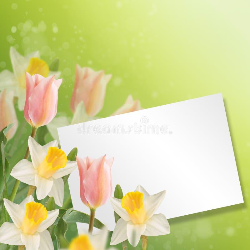 Postal con los narcisos de las flores frescas y tulipanes y pla vacío imagen de archivo libre de regalías