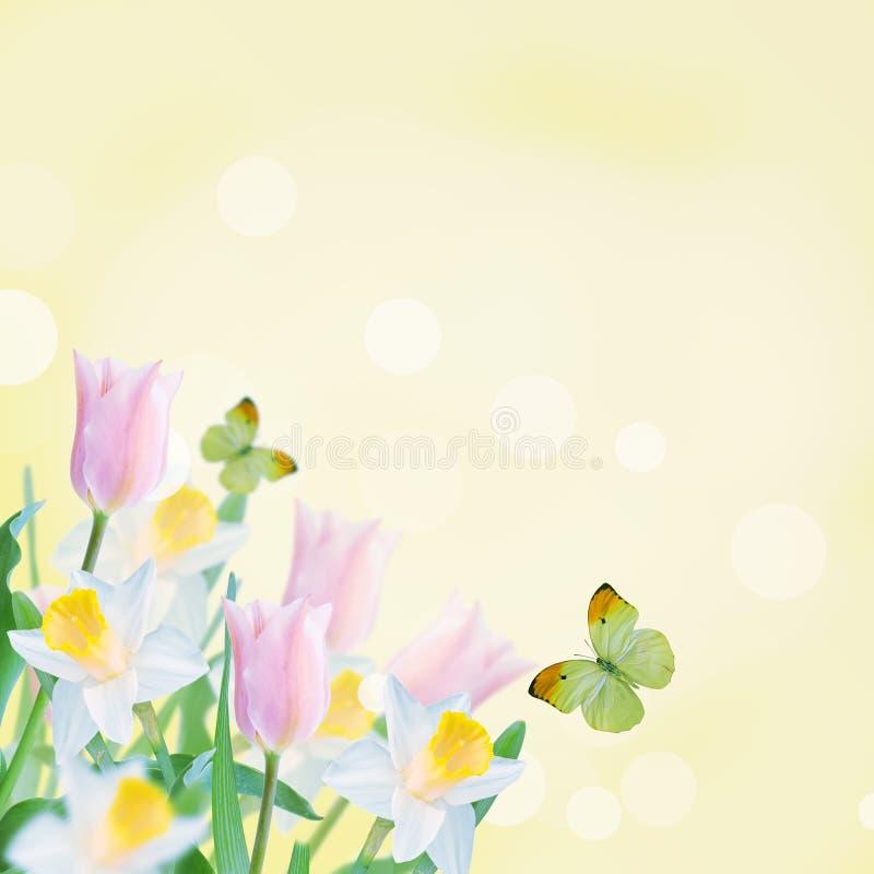 Postal con los narcisos de las flores frescas y tulipanes y pla vacío fotografía de archivo libre de regalías