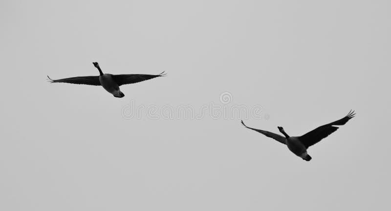 Postal con un par de volar de los gansos de Canadá foto de archivo