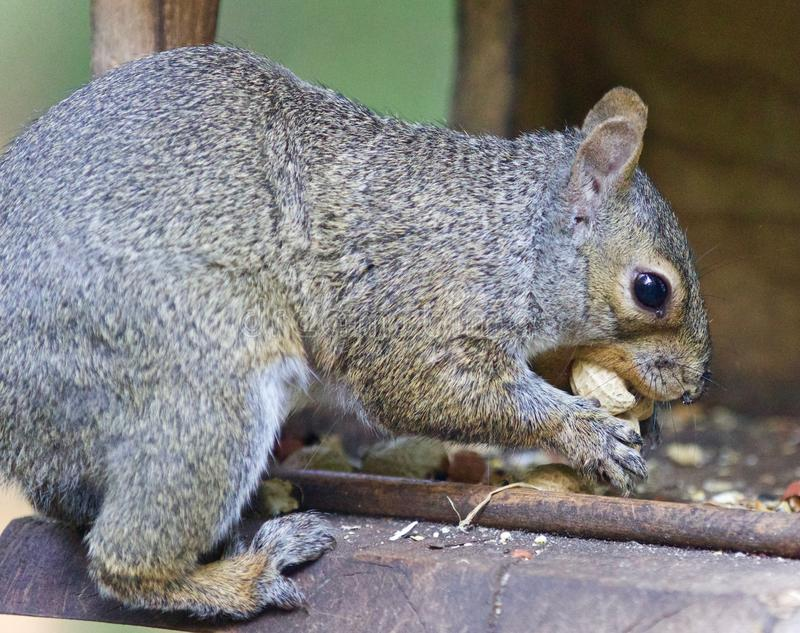 Postcard with a funny squirrel eating nuts. Isolated picture with a funny squirrel eating nuts stock images