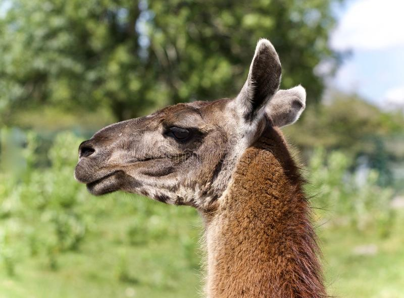 Postcard with a llama looking aside in a field. Picture with a llama looking aside in a field royalty free stock photography