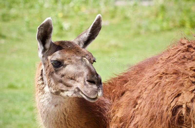 Postcard with a llama looking at camera in a field. Isolated image of a llama looking at camera royalty free stock images