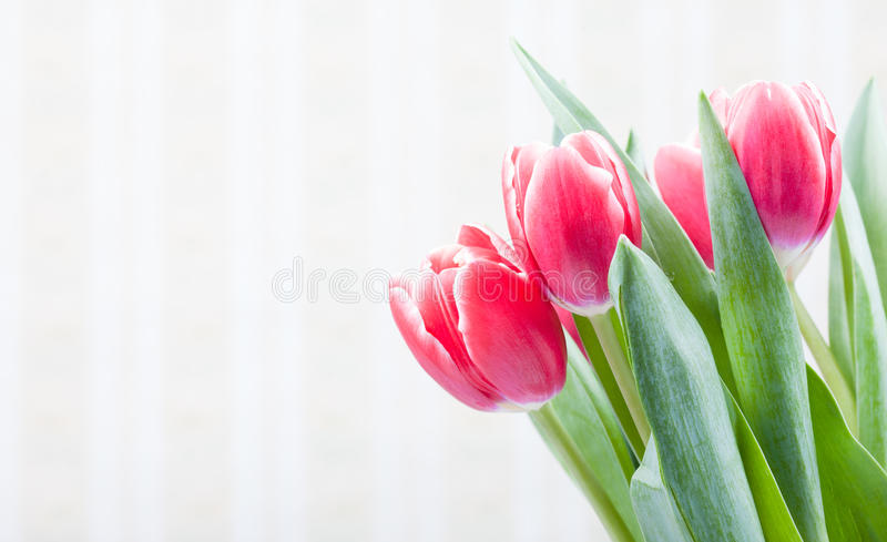 Postcard with old wallpaper background and beautiful red tulips royalty free stock image