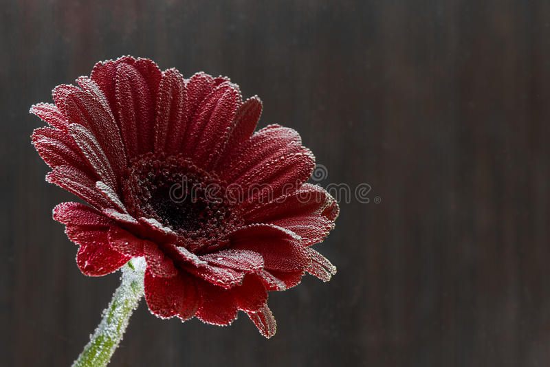Postcard red gerbera flower closeup with water drops. brown background royalty free stock photos