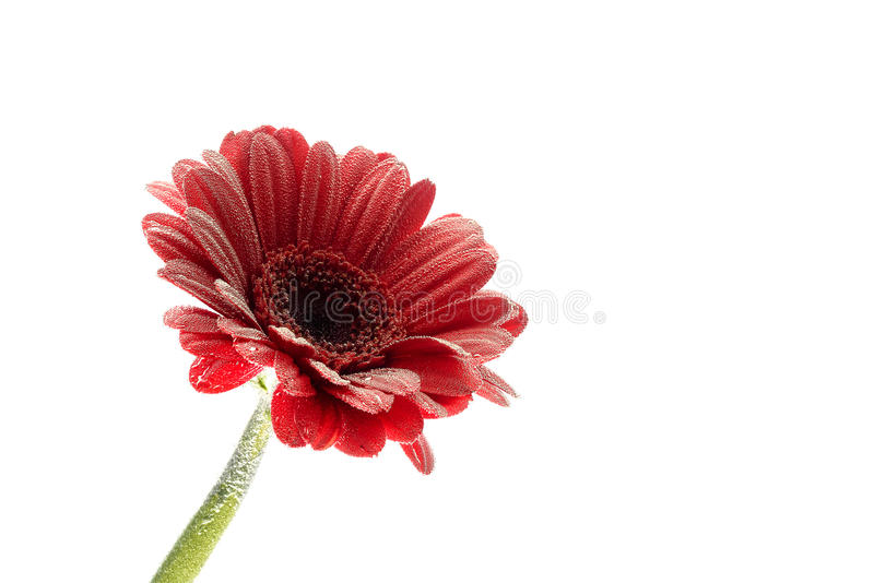 Postcard red gerbera flower closeup with water drops. isolated white background stock images