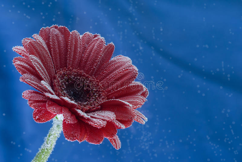 Postcard red gerbera flower closeup with water drops. soft blue background stock photo