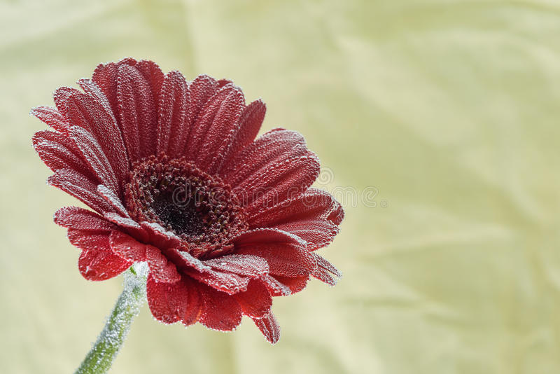 Postcard red gerbera flower closeup with water drops. soft yellow background stock images