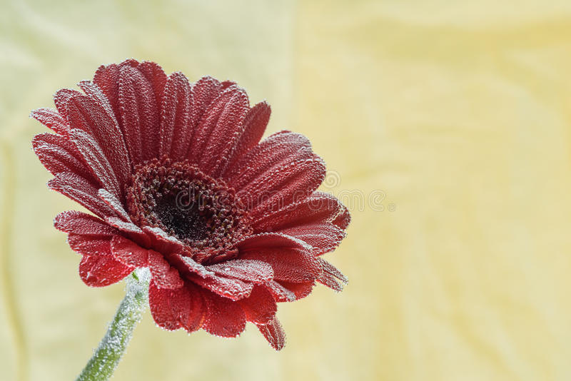 Postcard red gerbera flower closeup with water drops. soft yellow background royalty free stock photography