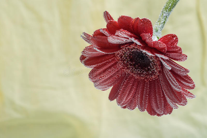 Postcard red gerbera flower closeup with water drops. soft yellow background stock image