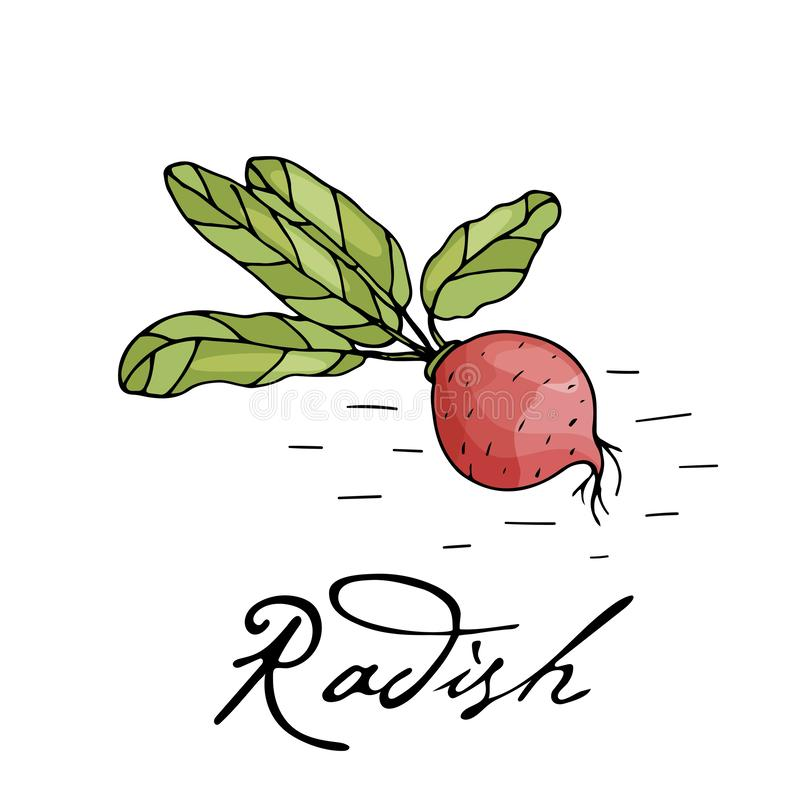 Poster with hand drawn radish isolate on a white background royalty free illustration