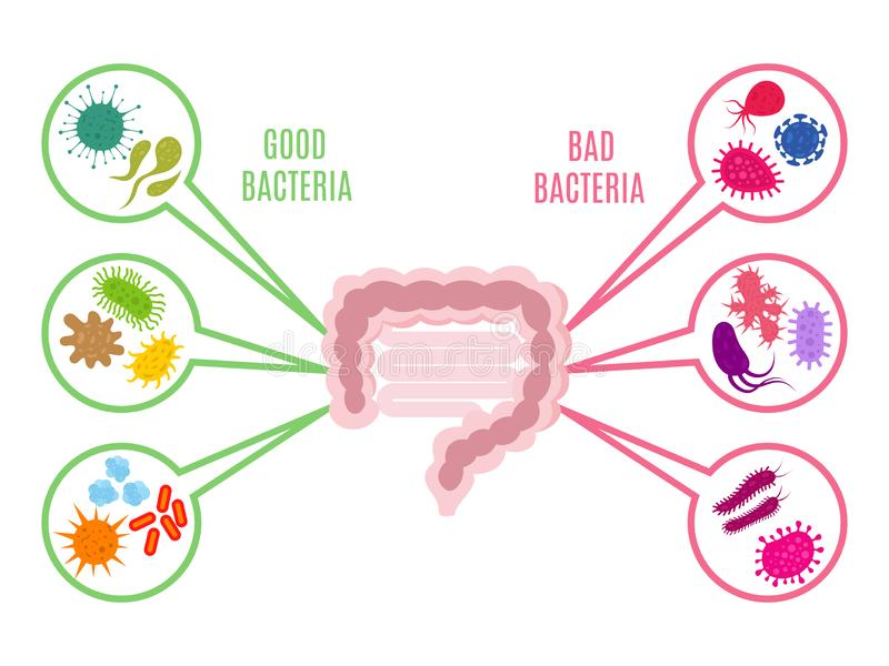 Poster of intestinal flora gut health vector concept with bacteria and probiotics icons isolated on white background. Illustration of bacteria intestine royalty free illustration