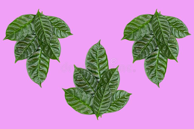 Poster natural background picture of green leaves on pink toner background. Flat flat top view stock photos