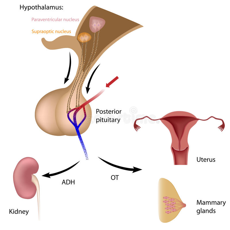 Posterior pituitary hormony royalty ilustracja