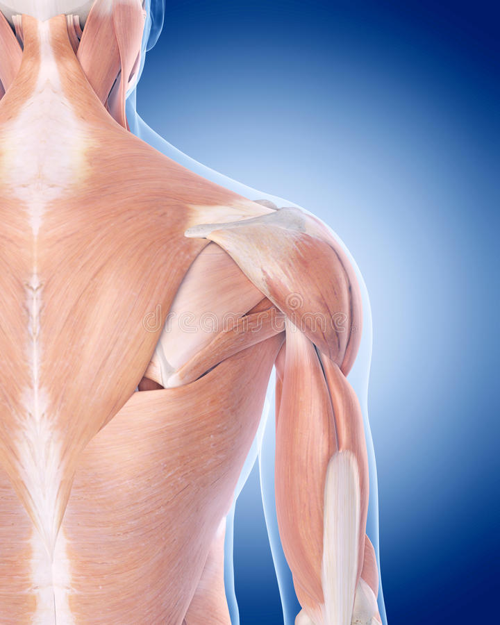 The posterior shoulder muscles stock illustration
