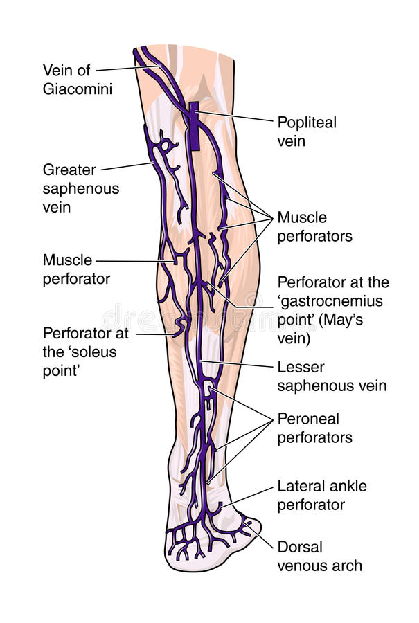 Download Posterior veins of the leg stock vector. Image of circulation - 12946866