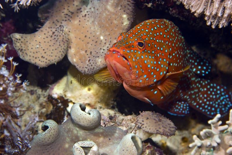 Posteriore di corallo (miniata di cephalopholis) fotografia stock