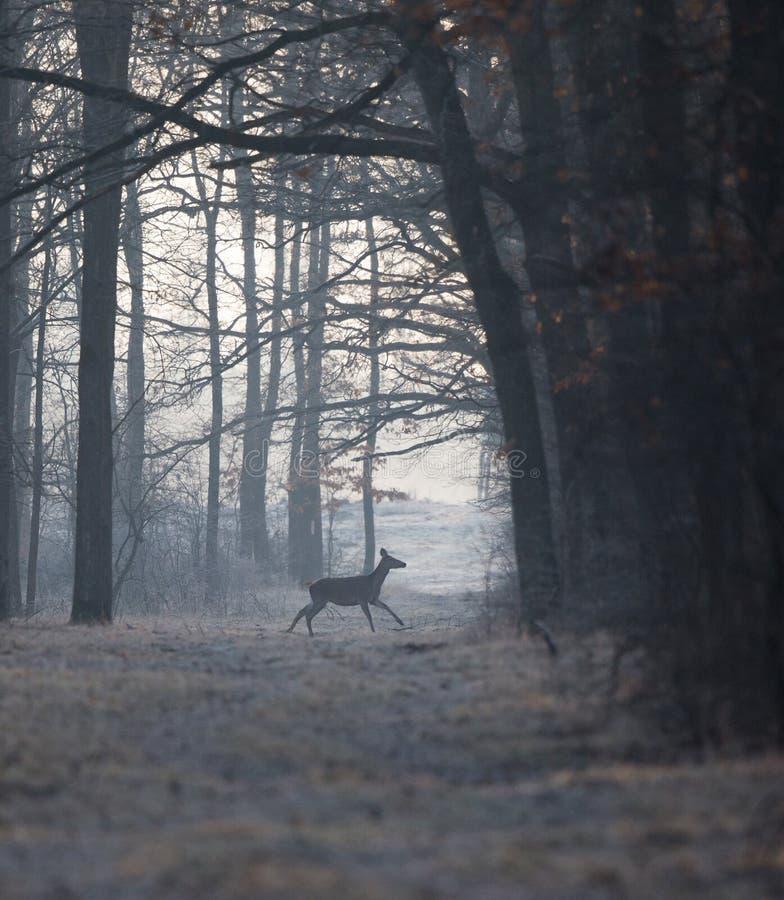 Posteriore in foresta nell'orario invernale fotografia stock