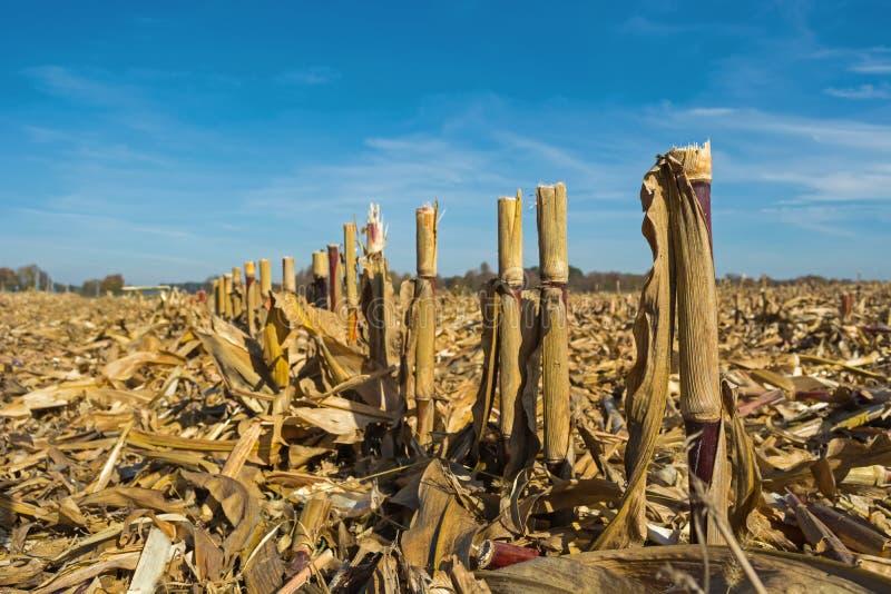 Postharvest residu's van graan op het gebied alvorens wordt verwerkt in de grond zoals organisch stock foto