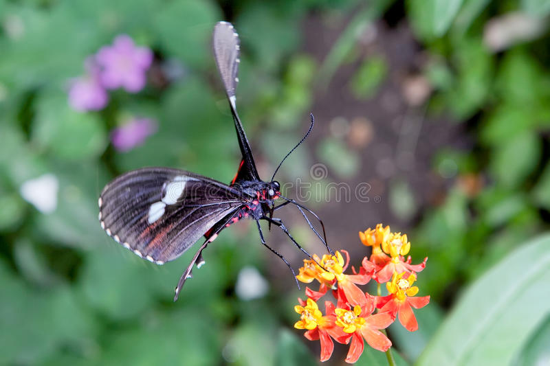 Postman Butterfly royalty free stock photo
