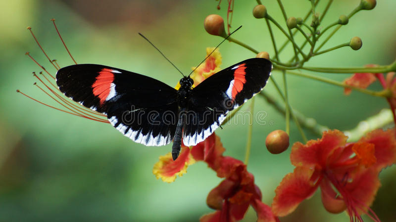 Postman Butterfly stock photography