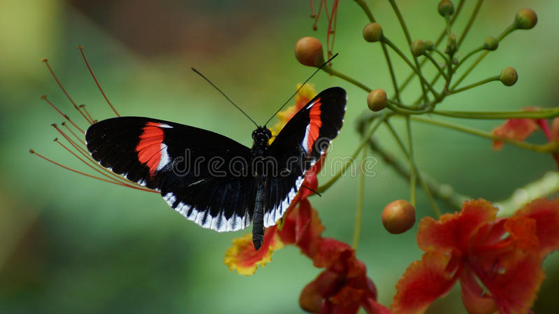 Postman Butterfly royalty free stock image