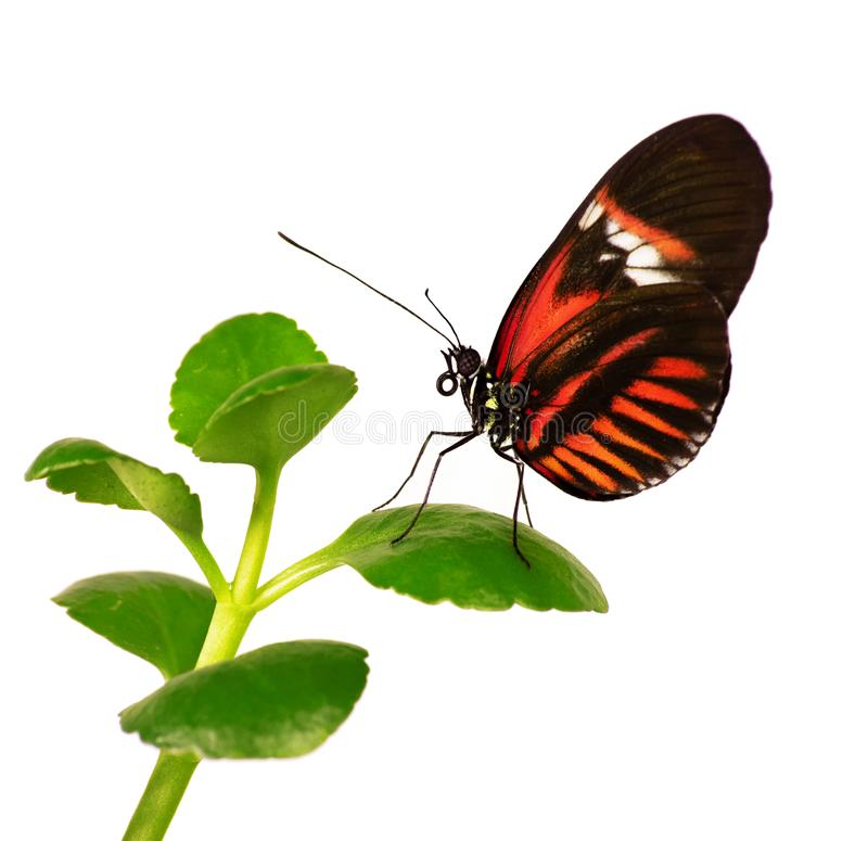 The postman butterfly Heliconius melpomene on a plant is isolated on white royalty free stock photography