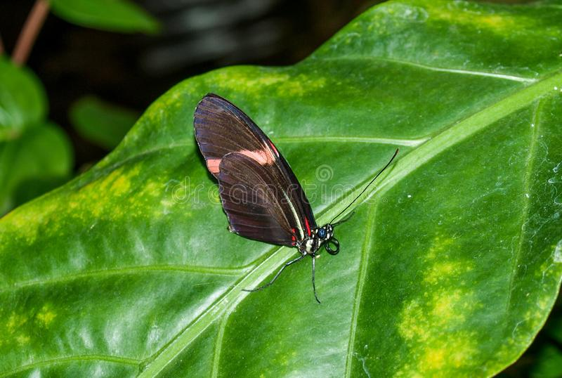 Postman Butterfly Heliconius Melpomene royalty free stock image