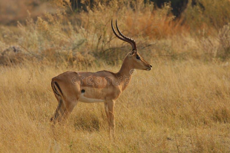 Postura del impala foto de archivo