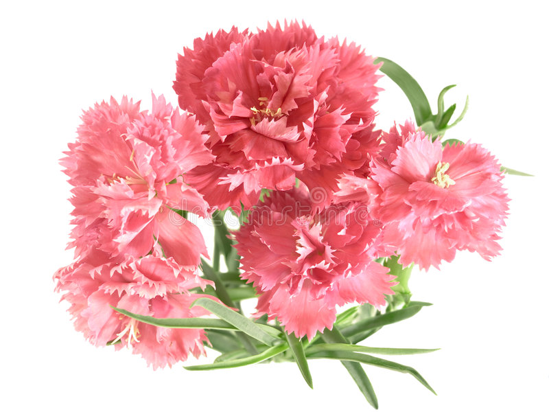 Posy del fiore dei garofani fotografie stock