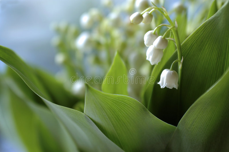 Posy do Lily-of-the-valley foto de stock royalty free