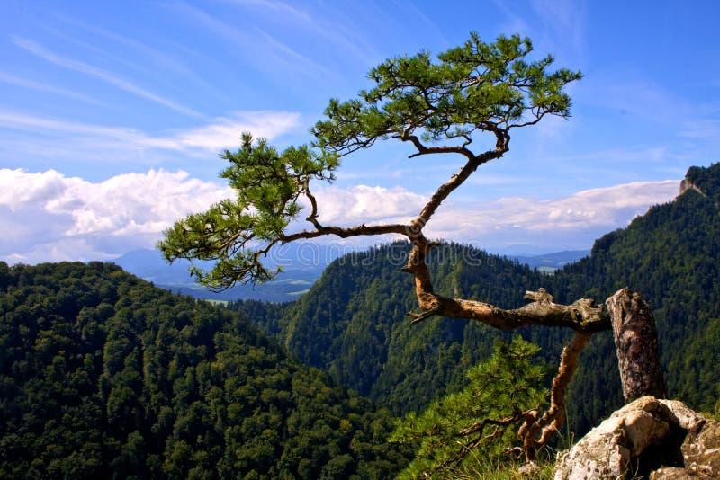 Potência da natureza. Pinho em Sokolica imagens de stock