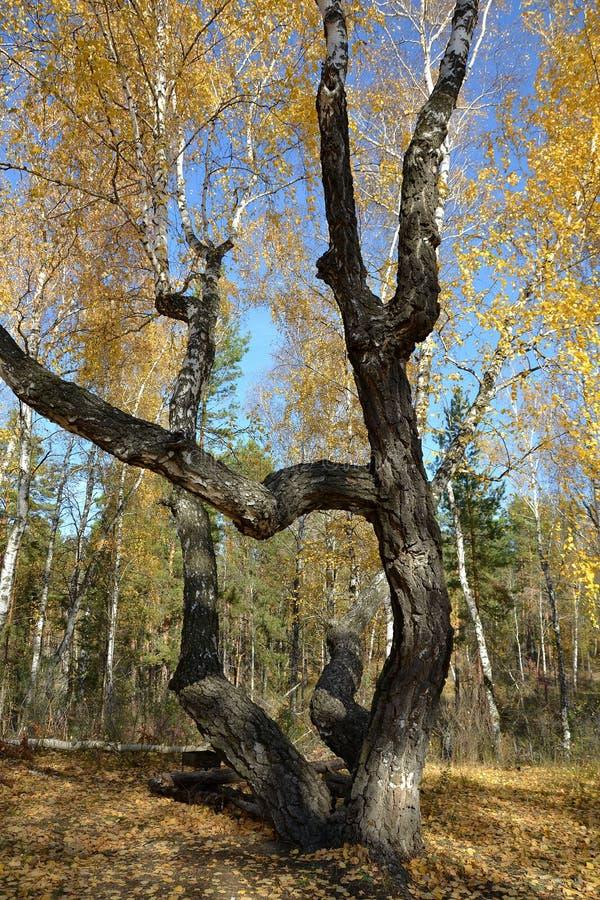 Potężni i silnie wyginający się bagażniki stare brzozy w jesień lesie zdjęcie royalty free