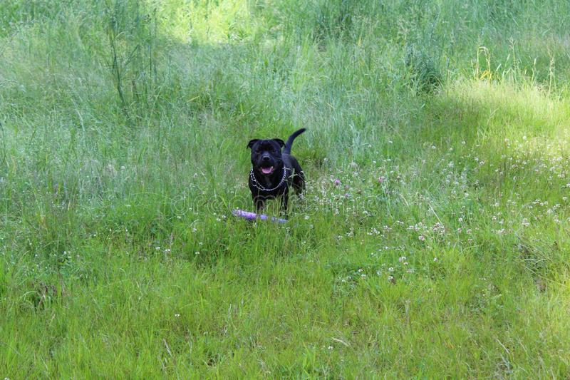 Potężny piękny czarny Staffordshire bull terrier zdjęcie stock