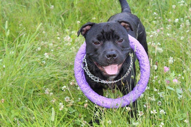 Potężny piękny czarny Staffordshire bull terrier obrazy royalty free