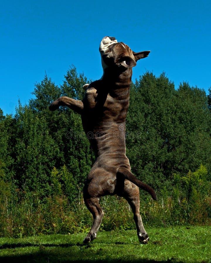 Potężny psi doskakiwanie w powietrzu zdjęcie royalty free